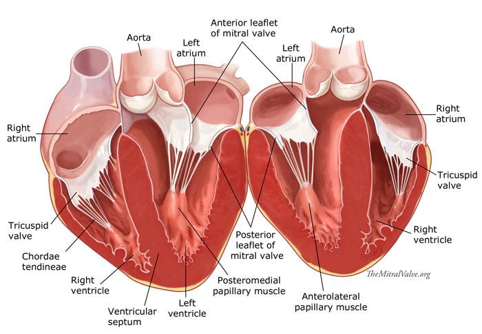 heartopenlayersrev, Human Body